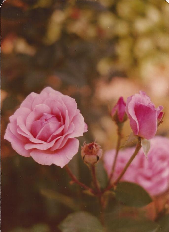 MISS DUNN'S ROSE--6-19-77.jpg
