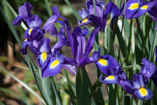 Iris 鸢尾花