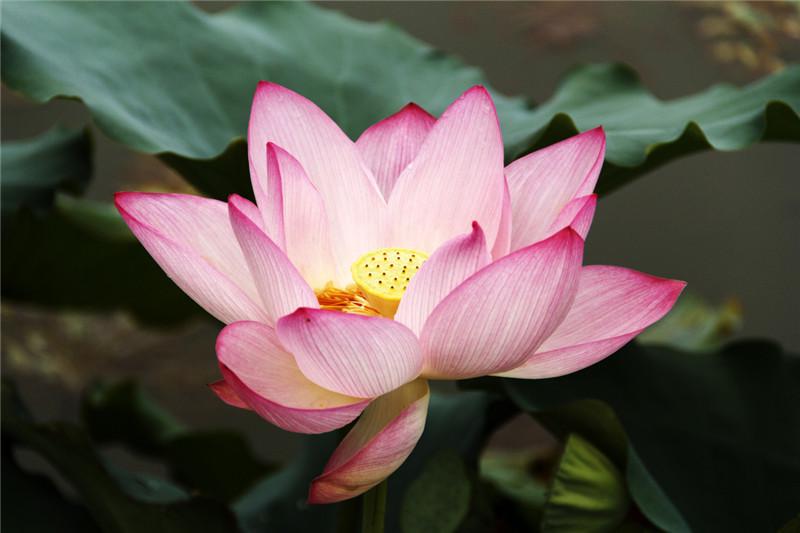 Lotus 莲花