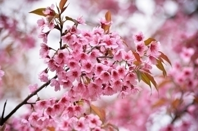 Prunus 樱桃