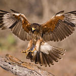 Falconer for summer camps