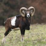 Mouflon-03