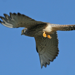 Female_lesser_kestrel_in_flight