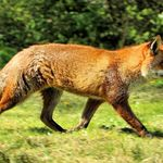 Fox_-_british_wildlife_centre__17429406401_