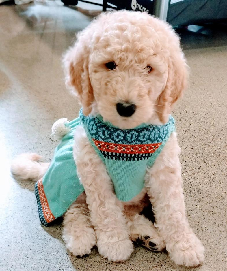 Home Pnw Goldendoodles Powered By Doodlekit