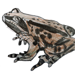 Commonfrog2