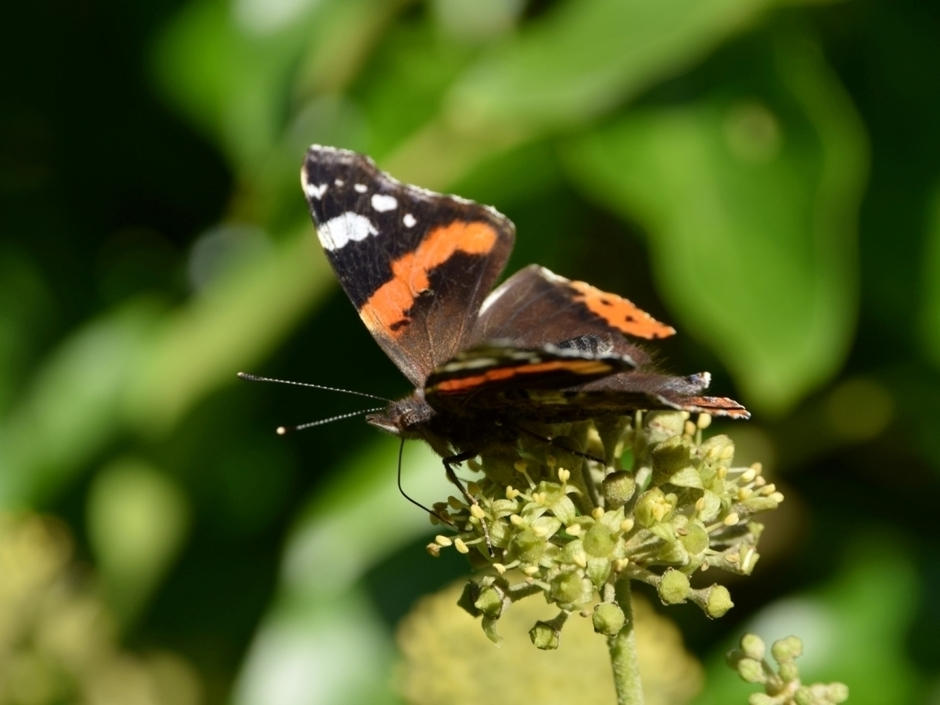 RedAdmiral-Photo
