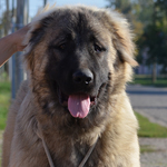 Russian Bear Dog – Is It the Right Dog for You?
