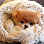 Teddy Bear Pomeranian – A Dog with Cuteness That Will Melt Your Heart