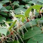 How to Use Giant Knotweed