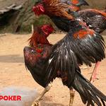 Efek Yang Bisa Ditimbulkan Dari Permainan Laga Ayam