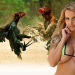 Bagaimana Cara Memilih Ayam Di Permainan Sabung Secara Online