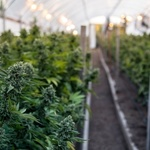 ​Tips for Choosing Cannabis Grow Boxes
