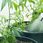 Benefits of Cannabis Grow Box