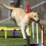 Choosing a Competent Dog Training Service