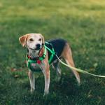 Why A Dog Harness Is Important