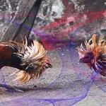 Menilai Kualitas Dari Seekor Ayam Petarung Dalam Arena Pertarungan